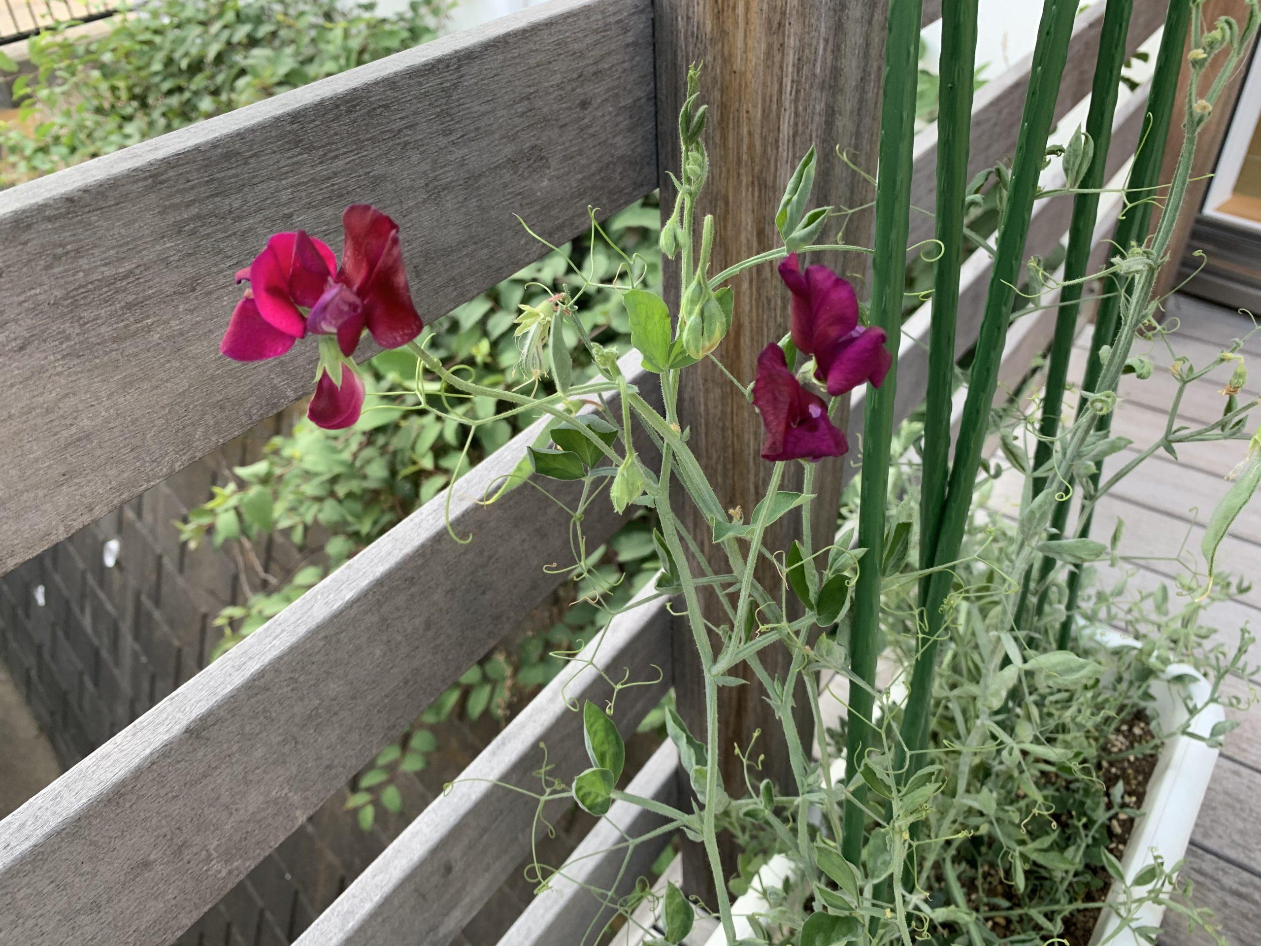 スイートピーの花が咲きました🌸