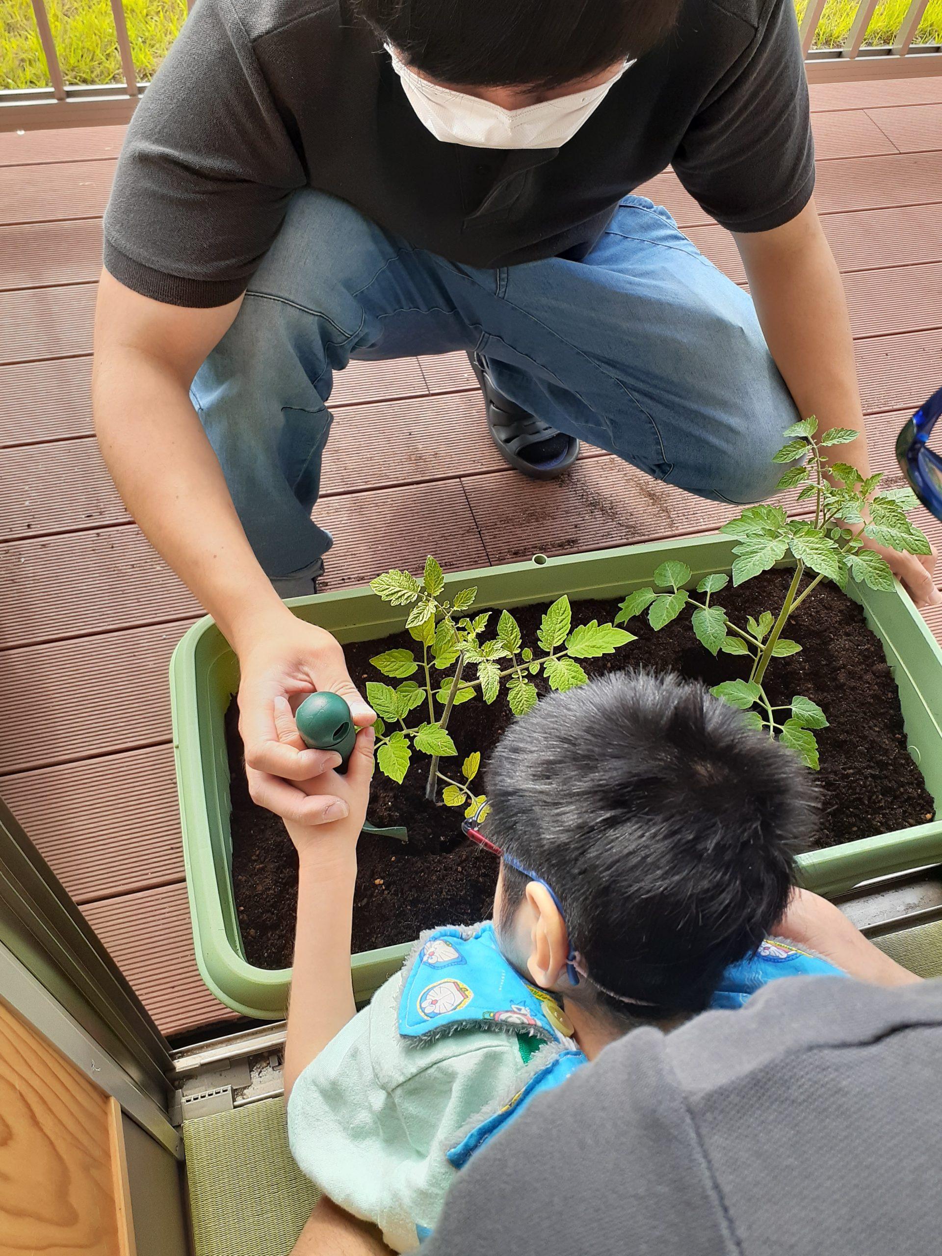 トマトの苗植え。